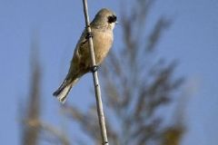 osete_50-pájaro-moscón